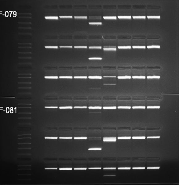 GE-4590 | 1% Agarose TBE w/ EtBr Long Gel, 6(8+1) well