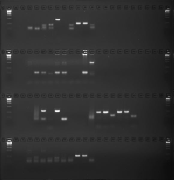 GE-5642 | 2% Agarose, 0.5X TBE w/ EtBr Long Gel, 4(24+1) well, Olerup SSP AB