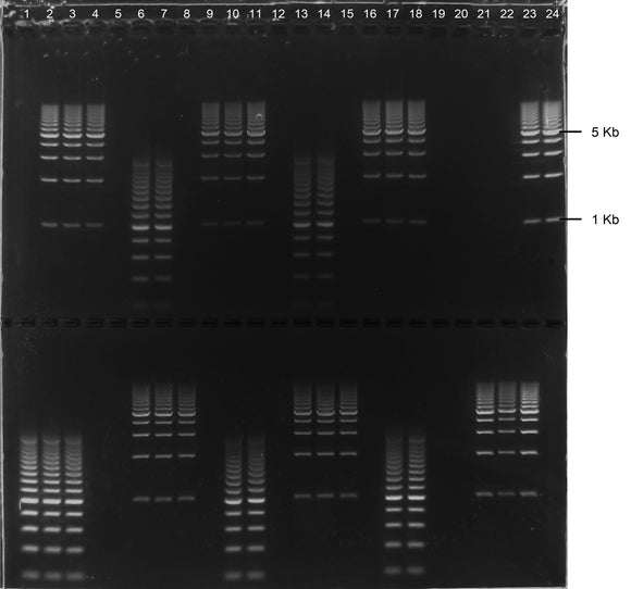 GE-3631 | 0.8% Agarose TAE w/EtBr Long Gel, 2(24+1) well