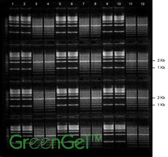 GG4660 | 1% Agarose TBE w/ GelGreen Long Gel 4(12+1) well