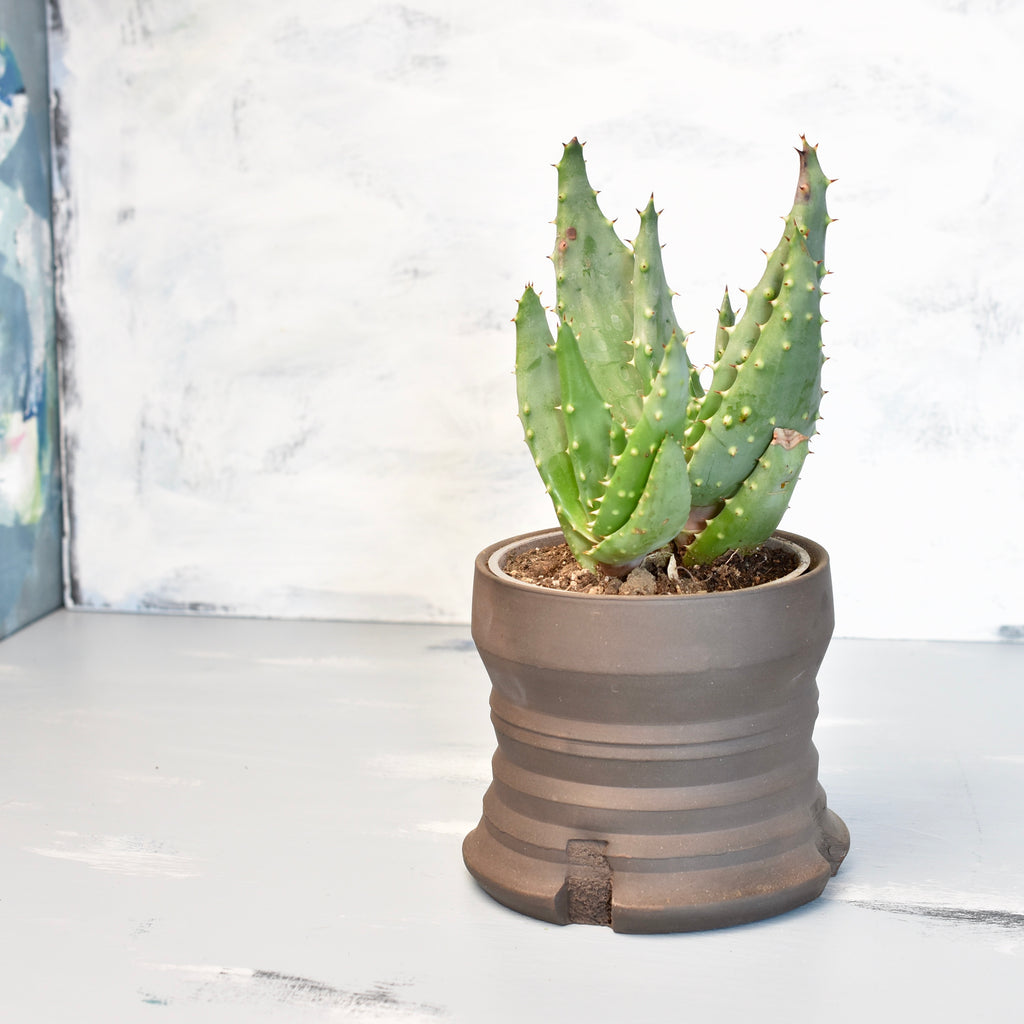 Succulent with ceramic pot