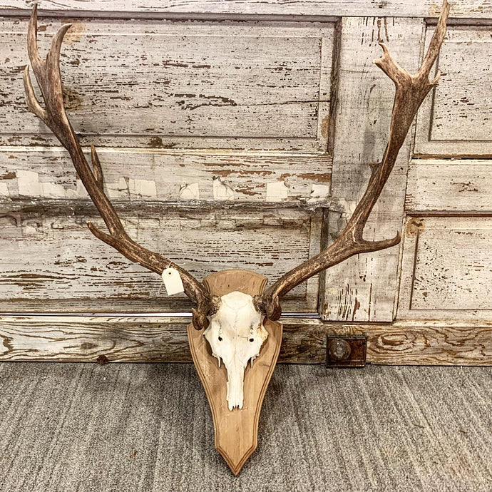 Large Mounted Moose Antler Wall Hanging, Vintage Rustic Wall Hanging
