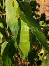 Load image into Gallery viewer, Fresh Organic Jamaica Cherry Leaves