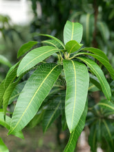 Load image into Gallery viewer, Fresh Organic Mango Leaves