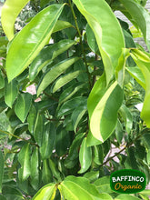 Load image into Gallery viewer, Fresh organic Soursop leaves