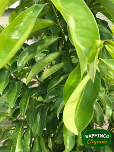 Fresh organic Soursop leaves