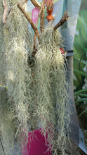 Load image into Gallery viewer, Spanish Moss Tillandsia Usneoides Air Plant