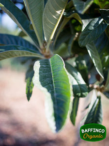 Fresh Organic Loquat Leaves