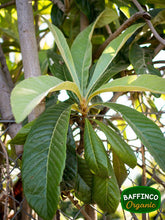 Load image into Gallery viewer, Fresh Organic Loquat Leaves