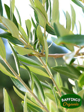 Load image into Gallery viewer, Fresh Organic Olive Leaves