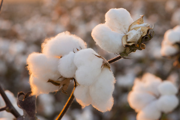 Is organic cotton truly better?