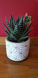 Variegated Aloe Tiki indoor plant