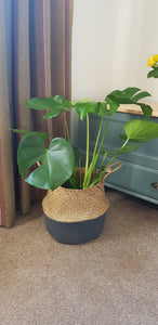 Monstera Deliciosa - Swiss Cheese Indoor Plant ave height 65cm