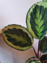 Load image into Gallery viewer, Calathea 'Medallion' indoor plant 12cm