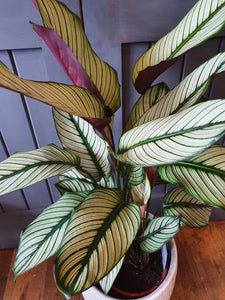 Calathea white Star indoor plant