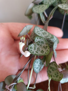 Ceropegia Woodii - String of Hearts Plant 14cm
