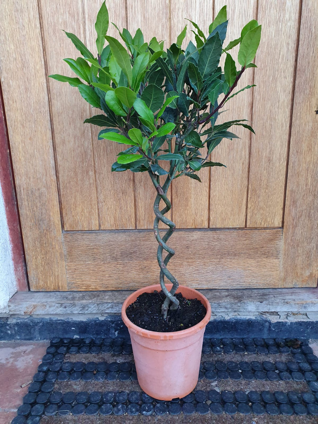 Double Twisted Stem Standard Bay Tree