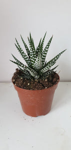 Zebra Haworthia Fasciata Big Band 11cm - indoor Plant