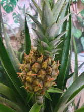 Load image into Gallery viewer, Bromeliad Pineapple Plant
