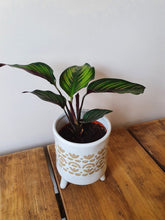 Load image into Gallery viewer, Calthea Ornata Pinstripe Calathea indoor plant - small