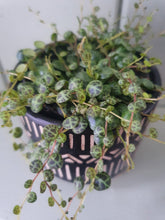 Load image into Gallery viewer, Peperomia Prostrata - String of turtles indoor plant  8cm