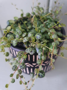 Peperomia Prostrata - String of turtles indoor plant  8cm