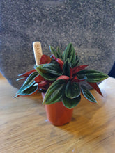 Load image into Gallery viewer, Mini Peperomia Rosso indoor plant