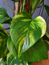 Load image into Gallery viewer, Epipremnum/Pothos Pinnatum also known as Devils Ivy - Indoor Plant