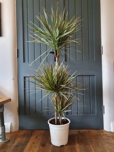 Draceana Dragon Tree - bicolour indoor plant
