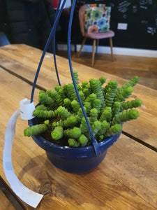 Crassula Hottentot 'String of Buttons' indoor plant