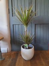 Load image into Gallery viewer, Draceana Dragon Tree - bicolour indoor plant
