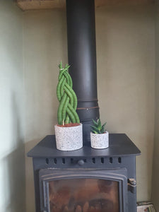 Sansevieria Cylindrica Braided/plaited Indoor Snake Plant