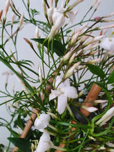 Load image into Gallery viewer, Scented Jasmine - Indoor plant