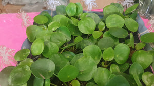 Mini Pilea Peperomoides Chinese Money Plant
