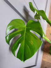 Load image into Gallery viewer, Monstera Deliciosa - Swiss Cheese Indoor Plant ave height 65cm