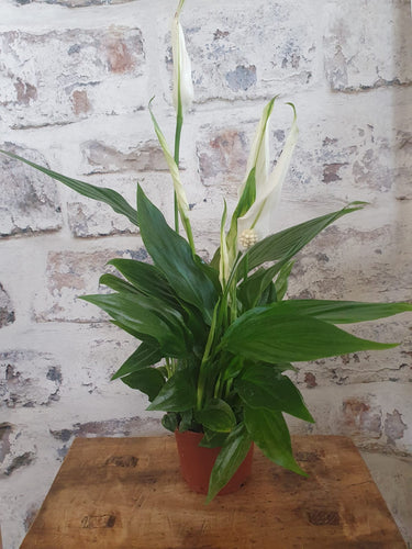 Small Peace Lily 'Cupido' indoor Plant