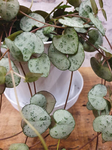 Ceropegia Woodii - String of Hearts indoor plant 11cm