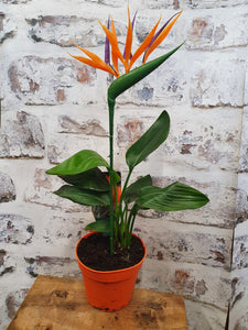 Strelitzia Reginae - Bird of Paradise Plant