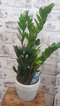 Load image into Gallery viewer, Zamioculca Zamiflora ZZ Indoor plant