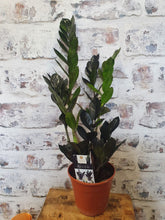 Load image into Gallery viewer, ZZ Zamioculcas black Raven rare indoor plant