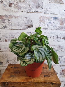 Peperomia Water melon Leaf plant 12cm