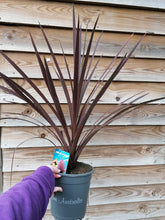 Load image into Gallery viewer, Cordyline Australis