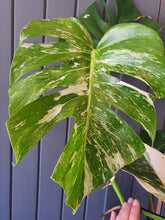Load image into Gallery viewer, RARE Variegated Monstera indoor plant