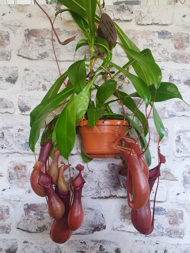 Nepenthes pitcher Monkey Jug - Carnivorus Fly catching Plant