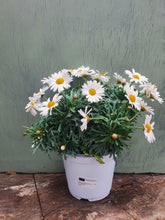 Load image into Gallery viewer, Marguerite daisy - Perennial