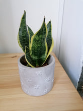 Load image into Gallery viewer, Sansevieria Mother In Laws Tongue small indoor plant