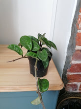 Load image into Gallery viewer, Hoya Krinkle indoor plant 10cm