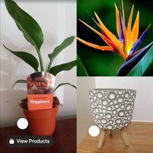 Load image into Gallery viewer, Bird of Paradise Plant