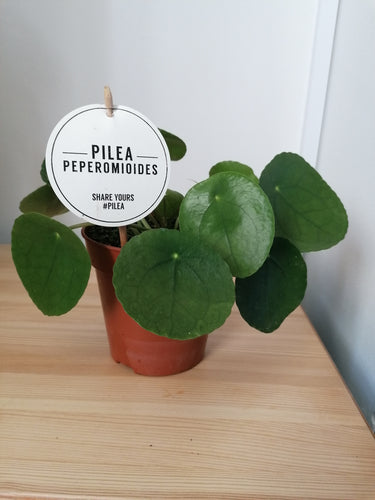 Pilea Peperomioides Chinese Money Indoor Plant