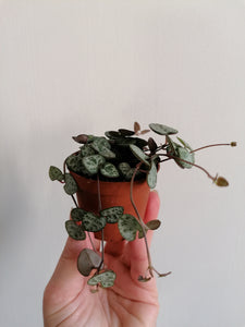 Ceropegia Woodii - String of Hearts mini 6cm indoor plant